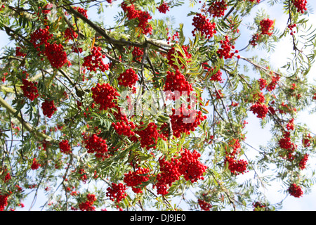 Red wild berries and leaves in autumn season - Stock Photo