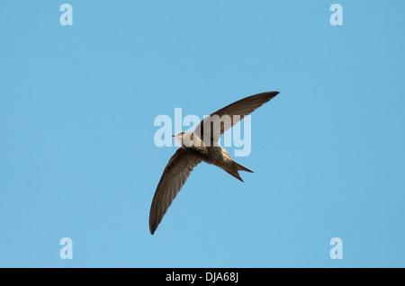 Pallid Swift - Apus pallidus - Stock Photo