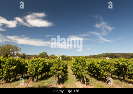 Rows of vines in a French vineyard - Stock Photo