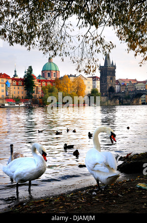 Prague, Czech Republic. River Vltava and Charles Bridge (Karluv most) in Autumn. Mute swans in the foreground - Stock Photo