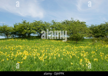 Spring field with Cowslip flowers (Primula veris), Thuringia, Germany - Stock Photo