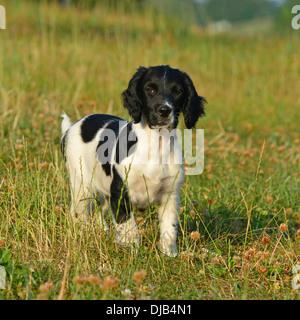 springer spaniel puppy - Stock Photo
