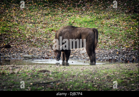 Young European bison or Wisent (Bison bonasus) drinks water from a puddle. - Stock Photo
