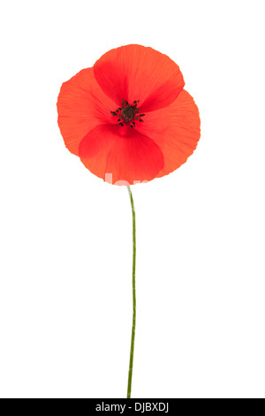 Single red corn poppy flower isolated on white background with shallow depth of field. - Stock Photo