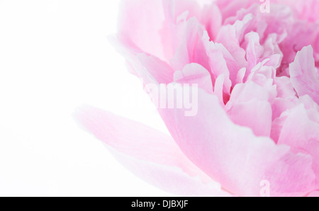 Pink Peony Flower isolated on white background with shallow depth of field and soft focus the petals of the flower.