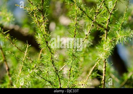 Closeup of European larch, Larix decidua in warm sunlight - Stock Photo