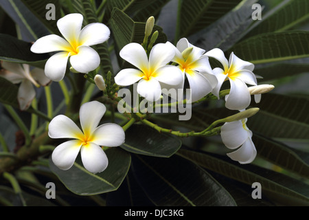White frangipani flowers in the Kingdom of Bahrain - Stock Photo