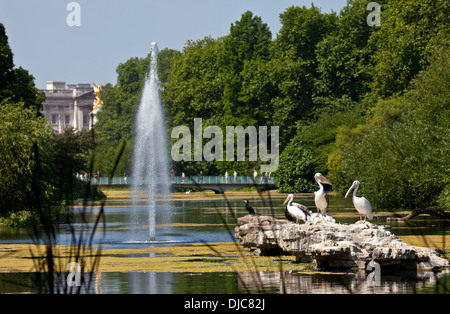 The Pelicans basking in the sunshine in St. James's Park, London. Buckingham Palace is in the background. - Stock Photo