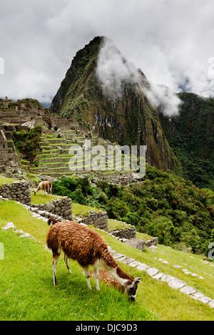 Llamas at Machu Picchu in the Cuzco Region of Peru. - Stock Photo