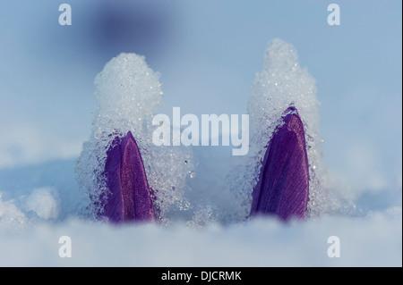 blue crocuses, germany - Stock Photo