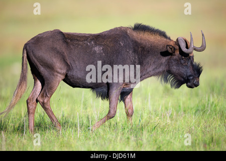 Black wildebeest is also knows as a white-tailed gnu.They are endemic to the southern part of Africa. - Stock Photo