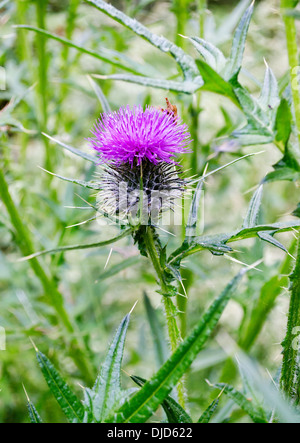 A flower on a wild thistle plant, found in British Columbia, Canada. Cirsium arvense. - Stock Photo