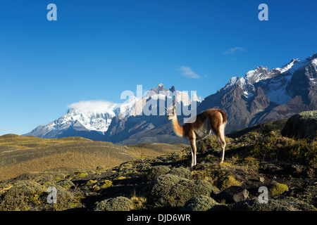 Guanaco(Lama guanicoe) standing on the hillside with Torres del Paine mountains in the background.Patagonia.Chile - Stock Photo