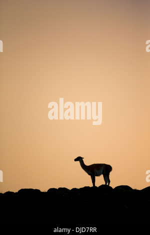Guanaco(Lama guanicoe) silhouette standing on the hillside.Patagonia.Chile - Stock Photo