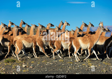 Small herd of Guanacos(Lama guanicoe) in Torres del Paine National Park.Patagonia.Chile - Stock Photo