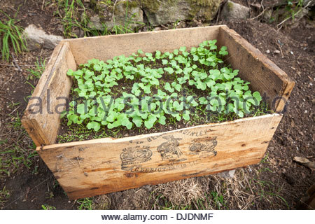Small radish (Raphanus sativus) and carrot (Daucus carota subsp. sativus) seedlings sown together in a wooden crate - Stock Photo