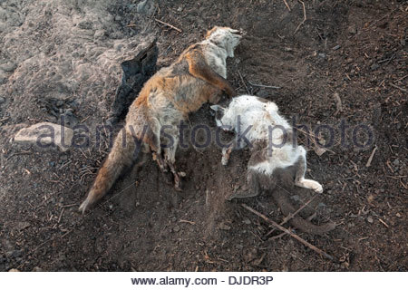 A dead red fox (Vulpes vulpes) and domestic cat (Felis catus or Felis silvestris catus) on a trash heap