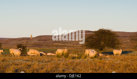 Sheep in the morning sun on the moors of the Yorkshire Dales with the chimney of Cobscar lead mine in view - Stock Photo