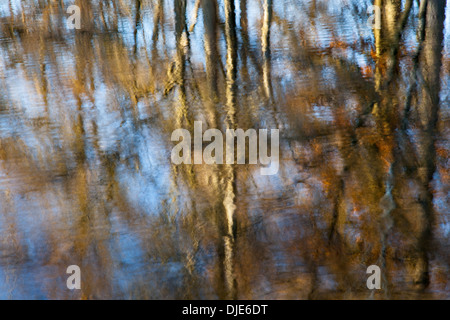 Larches reflected in water, at High Dam, near Finsthwaite, Lake District, Cumbria - Stock Photo