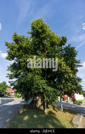 More than 500 year old Lime Tree in Hohenbodman, Baden Wuertemberg, Germany - Stock Photo