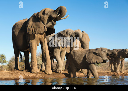 African elephant (Loxodonta africana) small group of elephants drinking at a waterhole in Mashatu game reserve.Botswana - Stock Photo