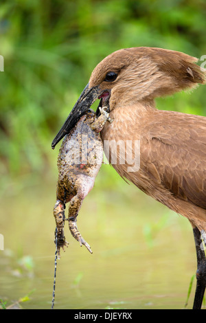 Hamerkop  (Scopus umbretta) eating a frog.Lake Nakuru National Park.Kenya - Stock Photo