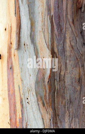 Colorful Abstract Pattern of Eucalyptus Tree Bark - Stock Photo