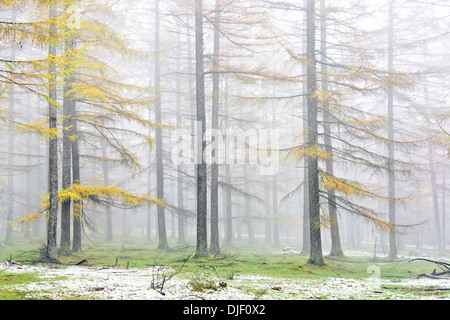 larch forest in autumn with vivid yellow color and fog - Stock Photo