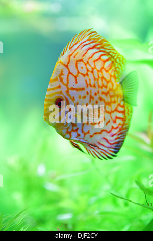 tropical discus fish in the aquarium - Stock Photo