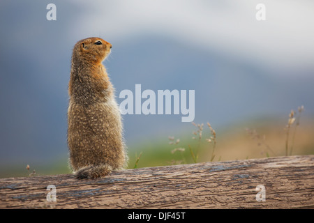 An Arctic Ground Squirrel (Urocitellus Parryii) Sits On A Log In Denali National Park And Preserve; Alaska - Stock Photo