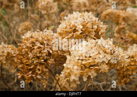 mass of dead Japanese Hydrangea plants the orange flowers heads making a natural dried flower arrangement in the - Stock Photo