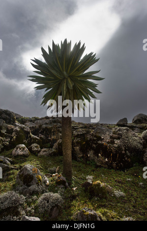 a Giant Lobelia on the Sanetti plateau, Bale mountains, Ethiopia - Stock Photo