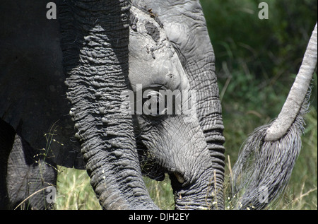 family of african elephants with baby, botswana - Stock Photo
