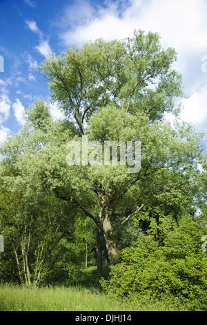white willow, salix alba - Stock Photo