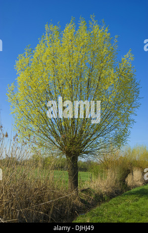 white willow, salix alba - Stock Photo