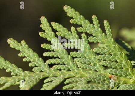 white cedar, thuja occidentalis - Stock Photo
