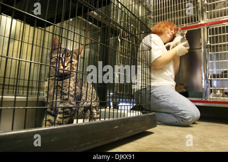 Sept. 14, 2010 - Colliervile, TN, U.S. - September 14, 2010 - A brown tabby cat named Kiwi peers from it's cage - Stock Photo