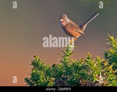 Dartford Warbler on lookout whilst perched on gorse - Stock Photo