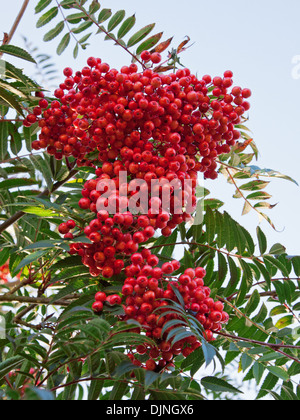 Berries on a Rowan tree ( sorbus aucuparia ) also known as the Mountain Ash - Stock Photo