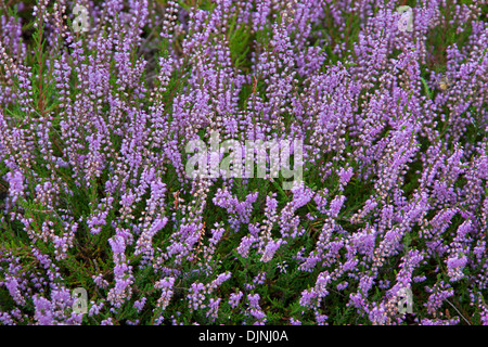 Common heather / ling (Calluna vulgaris) flowers flowering in summer in heathland / moor - Stock Photo