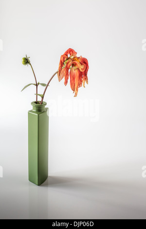 drooping dahlia in tall green vase - Stock Photo