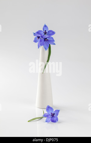 Blue delphiniums in white vase on plain white background - Stock Photo