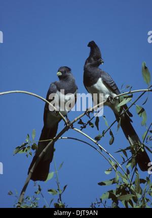WHITE-BELLIED GO-AWAY-BIRD (Corythaixoides leucogaster) adult pair perched in tree Samburu Game Reserve Kenya East - Stock Photo