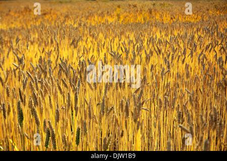 Wheat field near Yumbu Lakhang (Yungbulakang Palace), Lhoka (Shannan) Prefecture, Tibet, China - Stock Photo