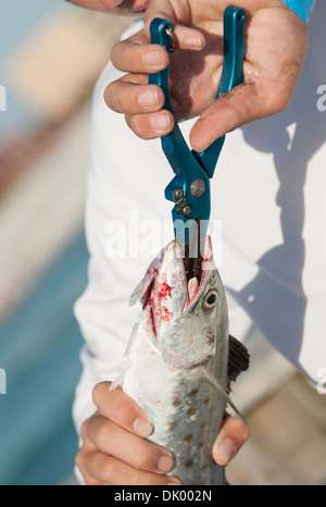 Angler using pliers to remove hook from a Mackrel fish - Stock Photo