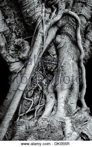 Detail of a strangler fig's (from the genus Ficus) along the Rama III road in central Bangkok, Thailand. - Stock Photo