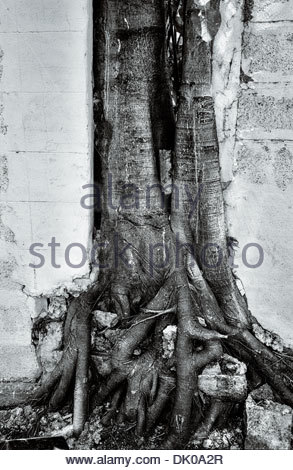 A Strangler fig (from the genus Ficus) breaking through a boundary wall along the Rama III road in central Bangkok, - Stock Photo