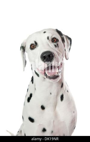 Dalmatian dog portrait on white background - Stock Photo