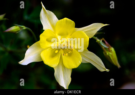 white star shaped flower with yellow button center stock photo, Beautiful flower