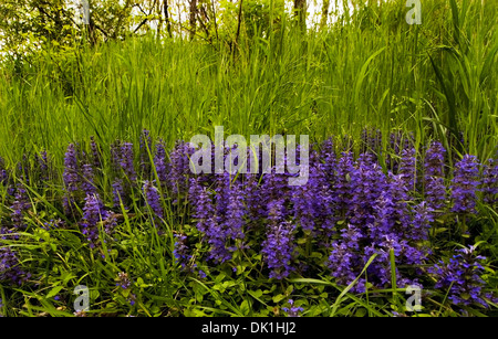 Purple wildflowers grow along a woods edge in southern Indiana in a National Wildlife Preserve near Seymour, Indiana, - Stock Photo